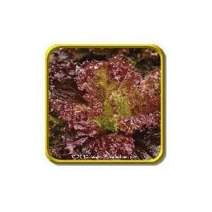 1/4 Lb   Leaf Lettuce Seeds   Lolla Rosso Darky Bulk