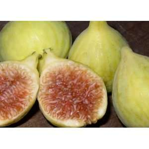 Excel Fig Tree  5 by 10 Inch Container: Patio, Lawn