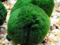 Giant MOSS BALL ( Marimo Ball) live aquarium plant.