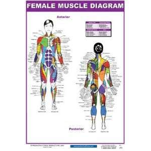 Female Muscle Diagram Poster Sports & Outdoors