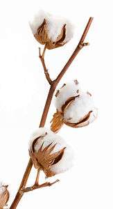Cotton Boll (3 bolls)   White Raw Cotton Plant Bolls for Crafts