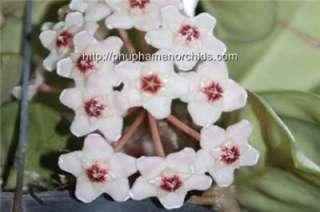 Large Hoya carnosa (fragrant)