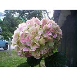Extra Large Antique Green Hydrangea (4 Stems)
