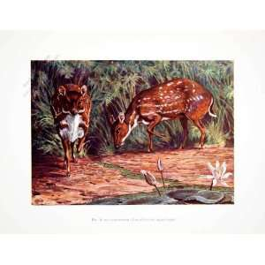 1906 Color Print Water Chevrotain Fanged Deer Liberia Africa