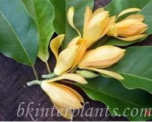 Magnolia COCO (Lour.) DC. Fragrant Flower&Nice Plant^^