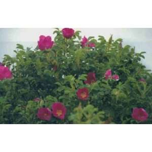 Red Japanese Shrub Rose (Rosa rugosa rubra) 5 seed Patio