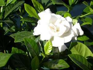 Fragrant Cape Jasmine Shrub, Gardenia jasminoides, Seeds