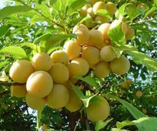 Fruits PURPLE MANGOSTEEN Garcinia mangostana RARE Fruit Tree SEEDLING