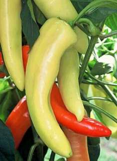 Hot Hungarian Yellow Wax Pepper   4 Plants