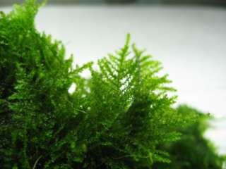 2x TAIWAN Moss   live aquarium plant fish Anubias fern