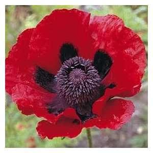 Red Poppy Flower Seeds Patio, Lawn & Garden